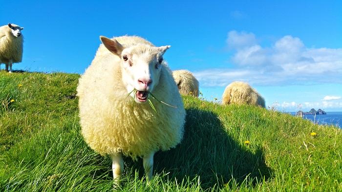 трава для овец