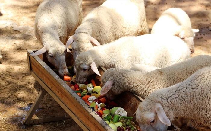 овцы едят морковь