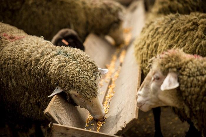 овечки едят из кормушки