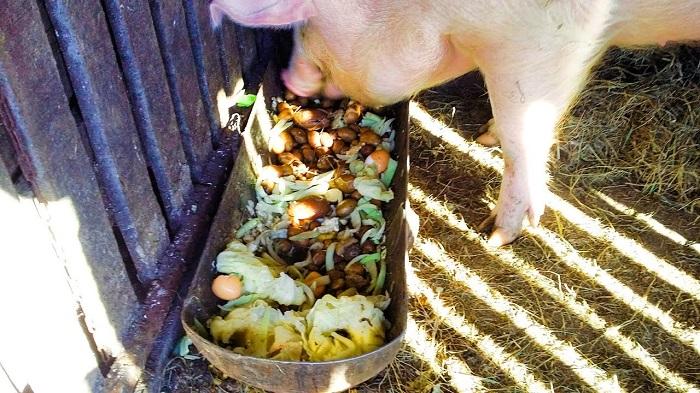 сочный корм свиньям