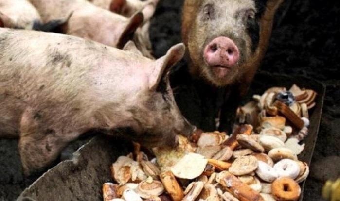 пищевые отходы свиньям