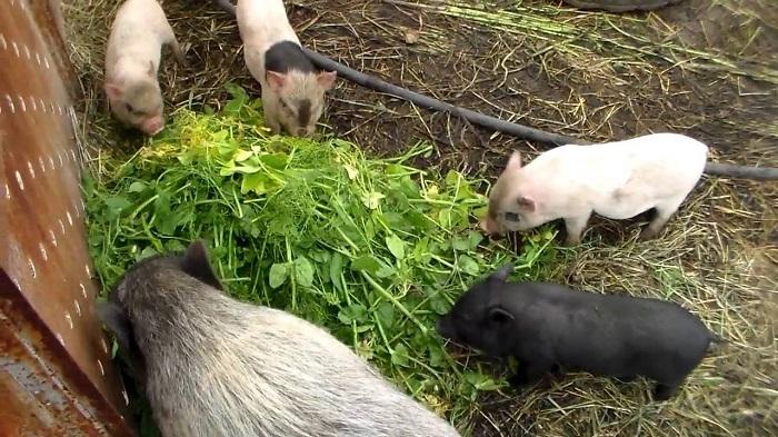 зеленый корм свиньям