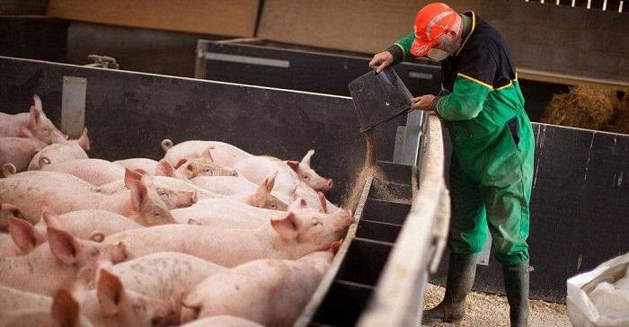кормление стада свиней