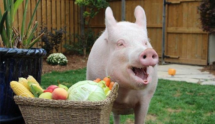 свинья и овощи