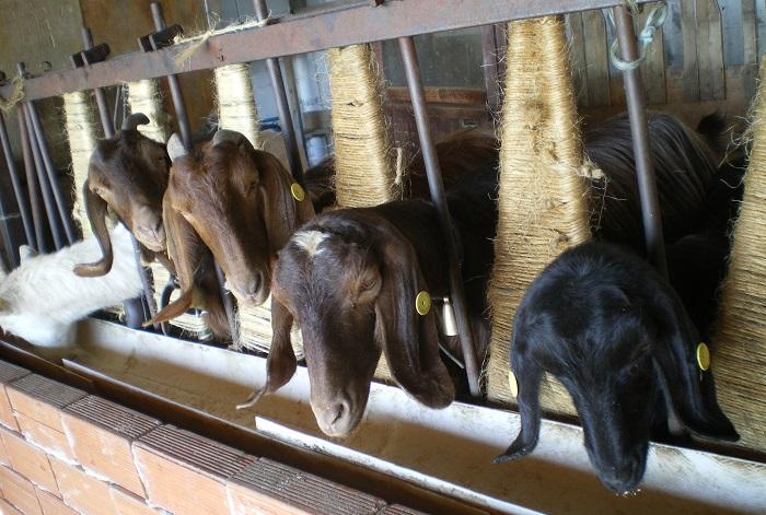 коричневая коза ест
