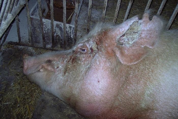 чесотка у свиньи