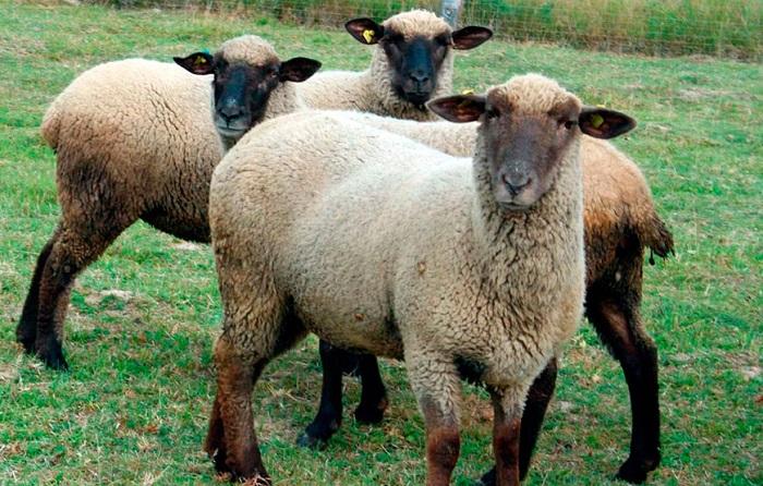 овцы с черной мордой