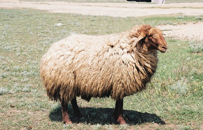 овечка с коричневой головой