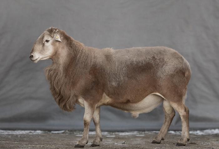 полулысая овца