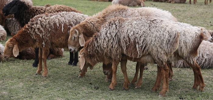 овцы таджикистана