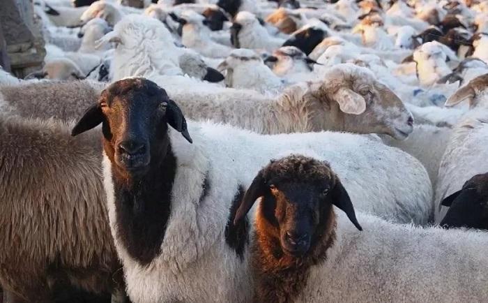 черные головы овец