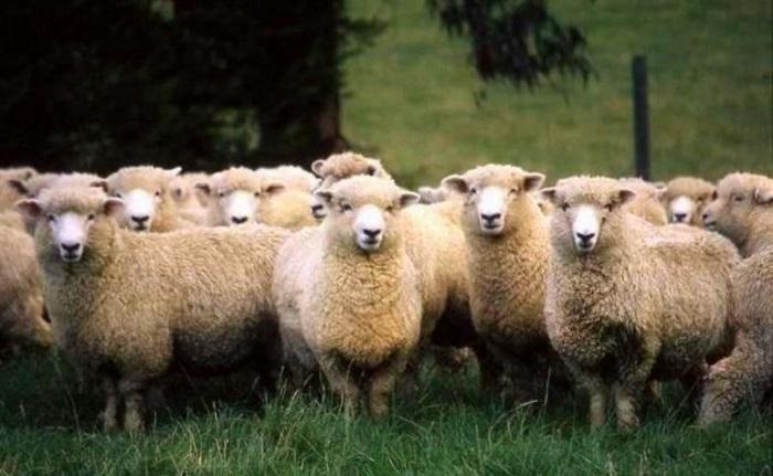 белые шерстяные овцы
