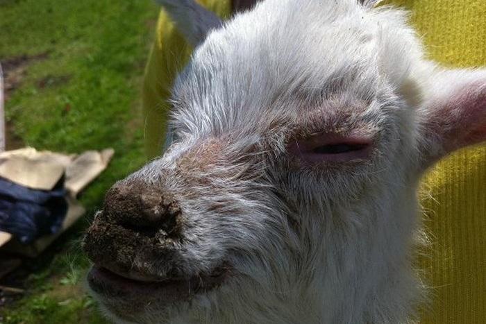 язвы на морде козы