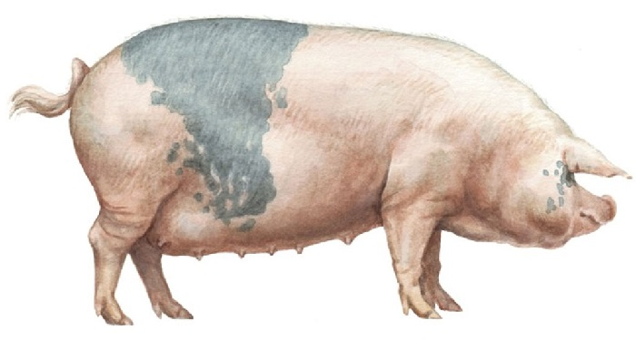 картинка свиньи