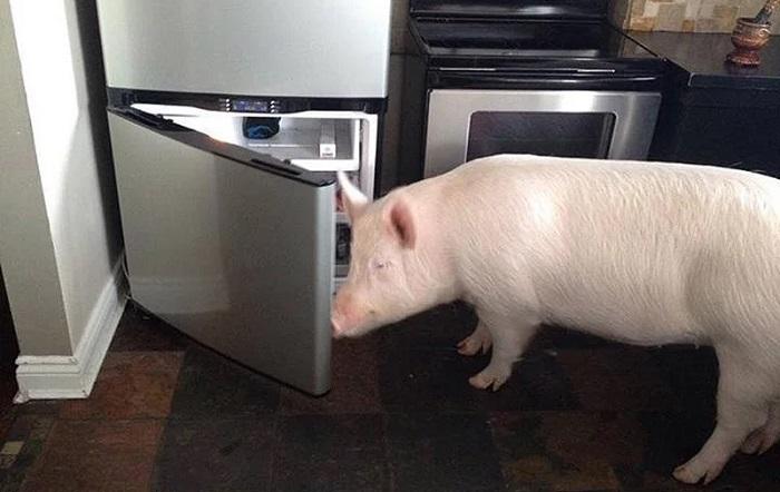 холодильник и свинья