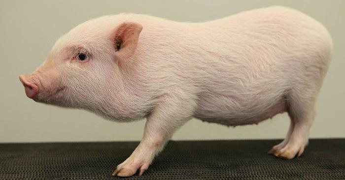 белый мелкий свин