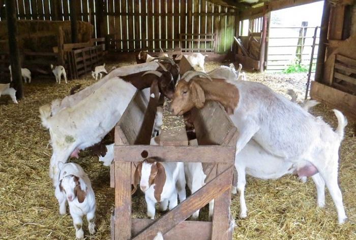 много коз ест
