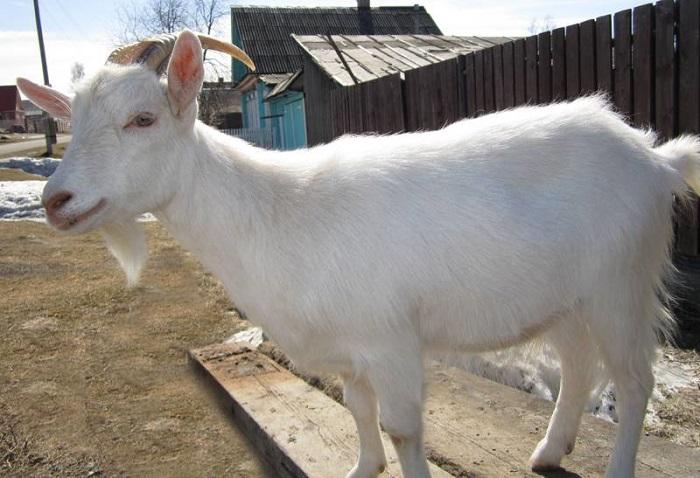 отечественная коза