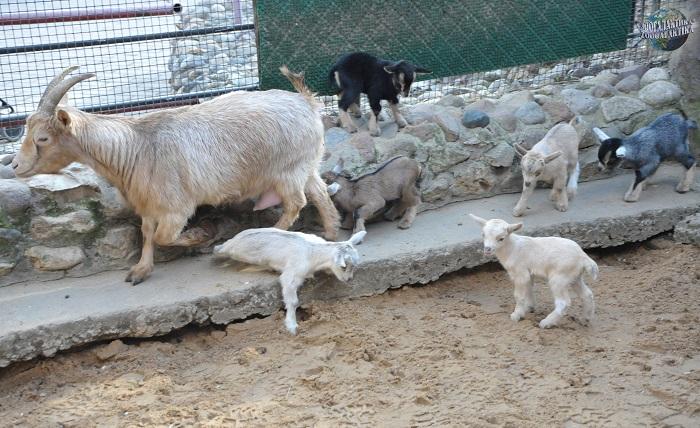камерунские козлята