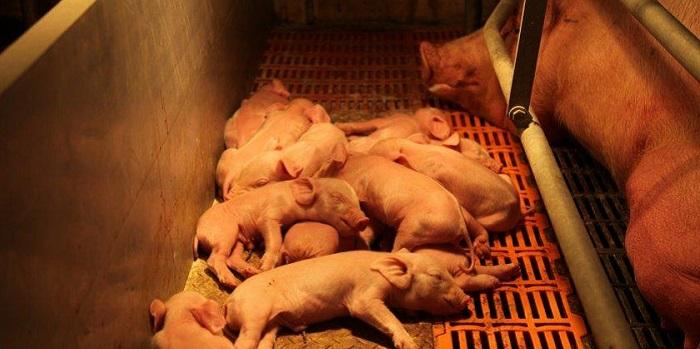 свинья после родов