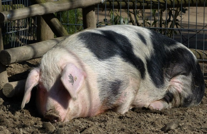беременная пятнистая свинья