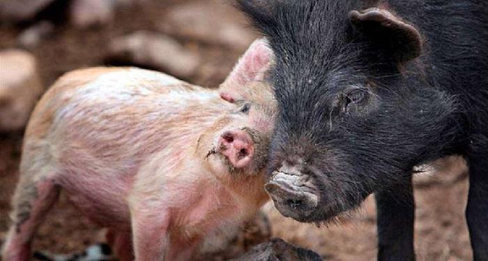 поросенок толкает свинью