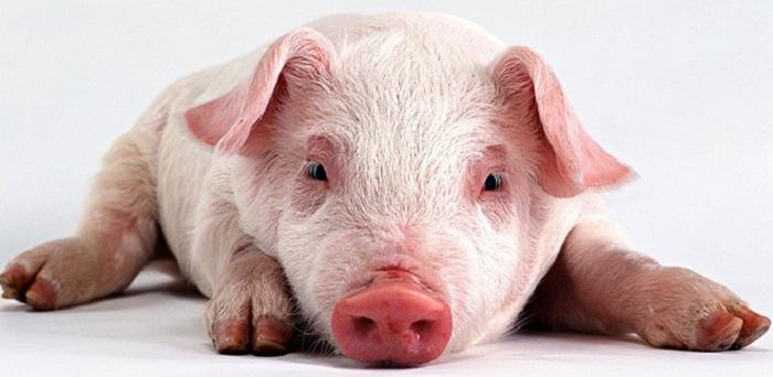 маленький больной свин
