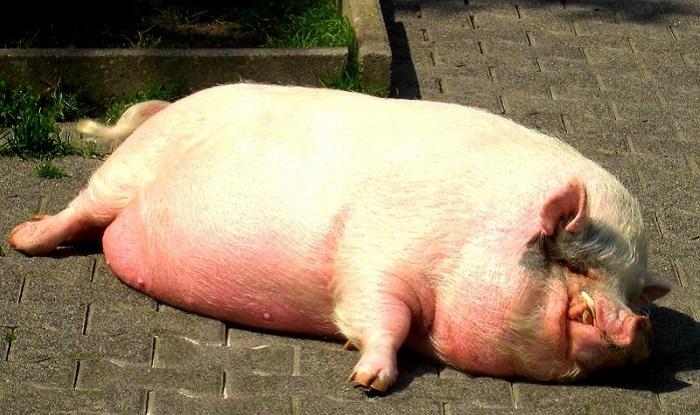 сальная свиноматка