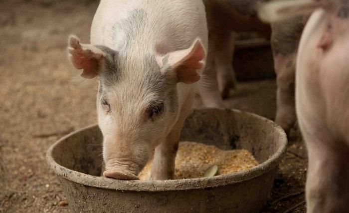 свин ест отруби