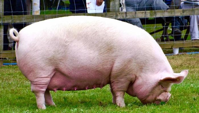 белая свиноматка на траве