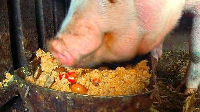 свинья ест мешанку