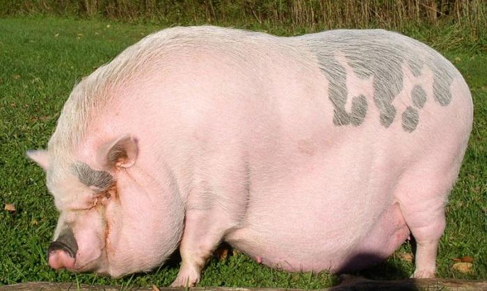 беременная розовая свинья