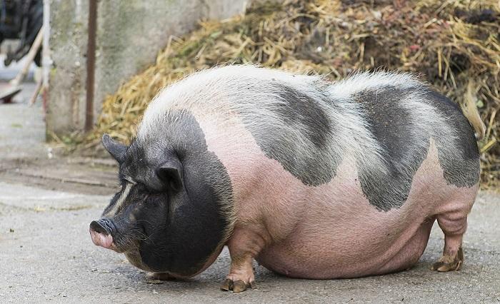 жирная пятнистая свинья