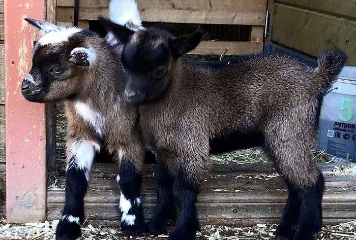 Камерунские карликовые козы.