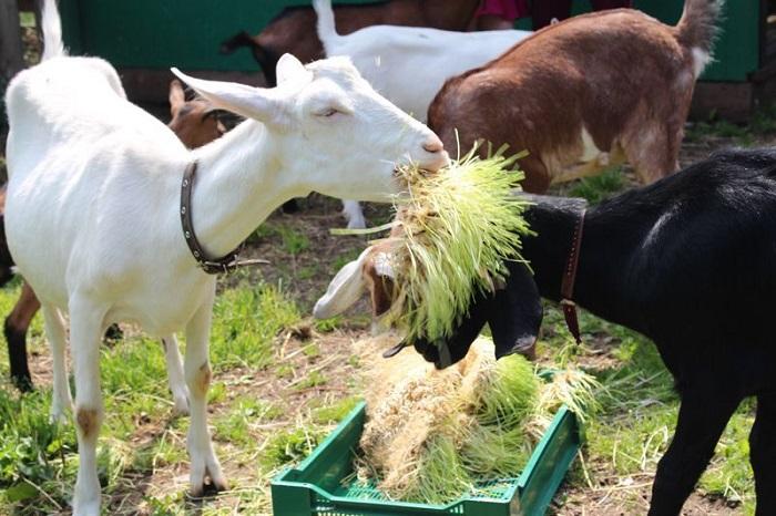 коза ест траву из кормушки