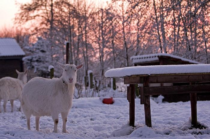 коза зимой