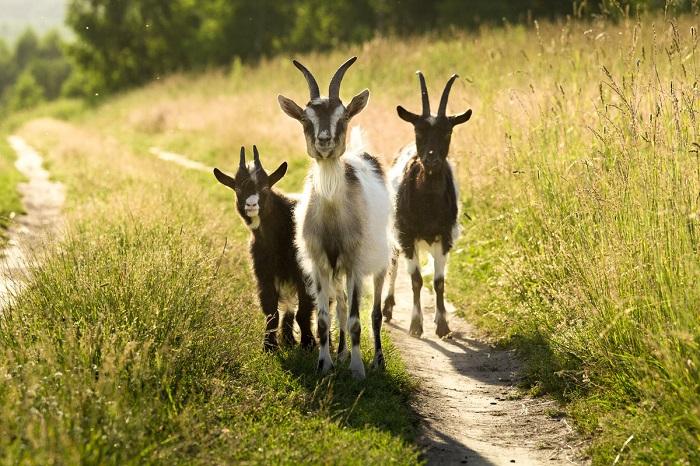 три козы по дороге идут