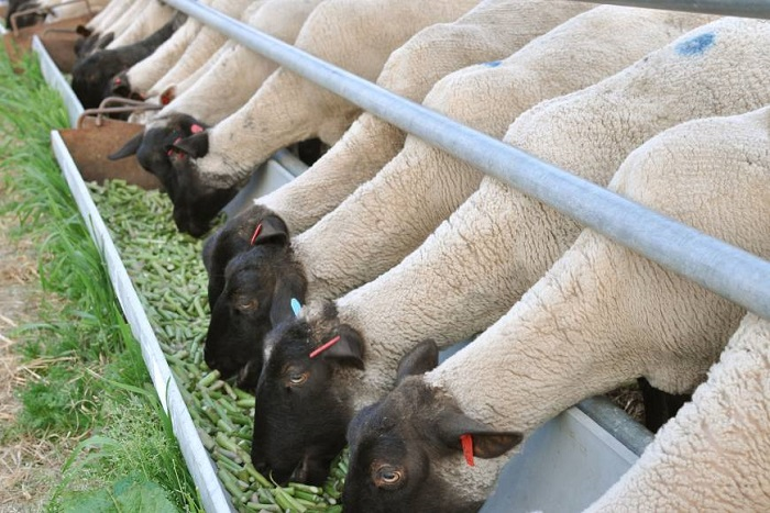 черные головы овец едят