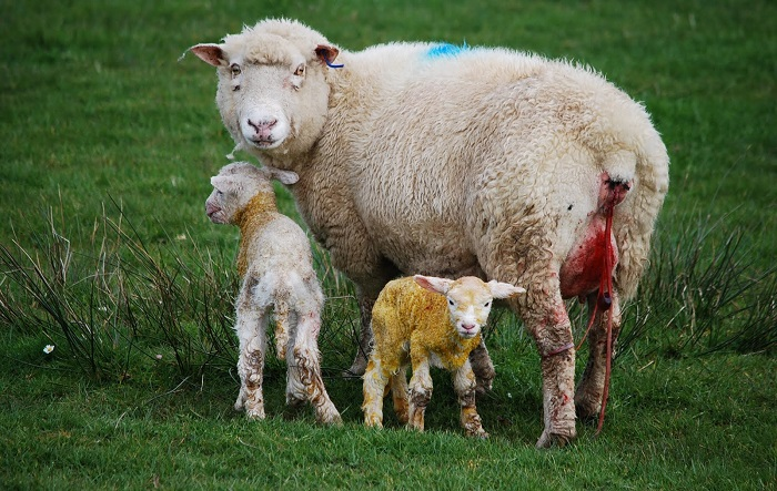 овцы родила на лугу
