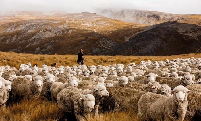 овцы на красивом фоне