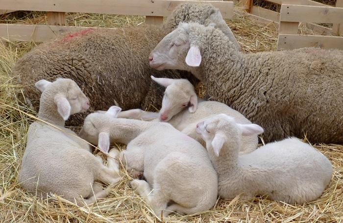 ягнята и две овцы