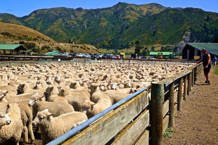 стадо овечек