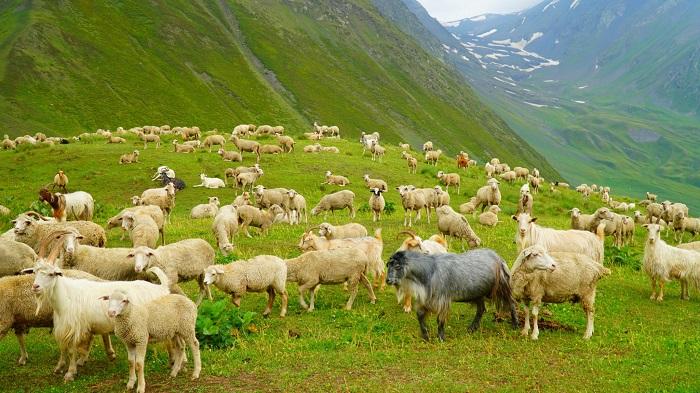 поле в горах и овцы