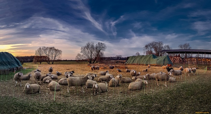 овцы в закате