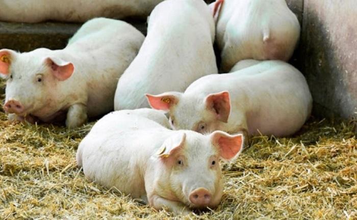 свинья лежит на сене