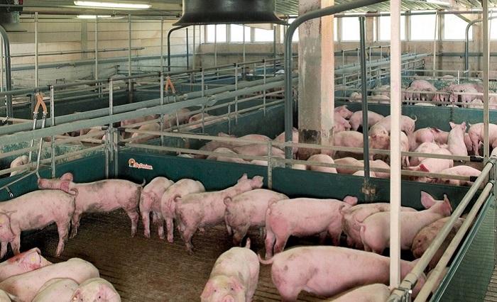 помещение жилье свиней