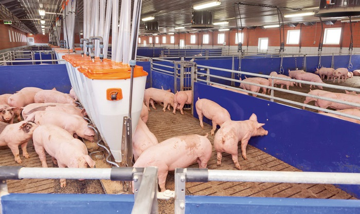 чистая свиноферма