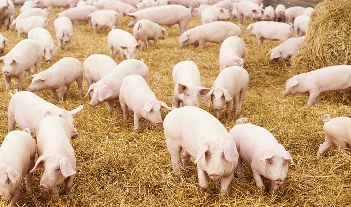 свиное стадо на сене