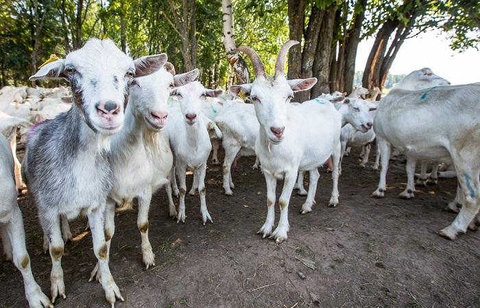козел и много коз