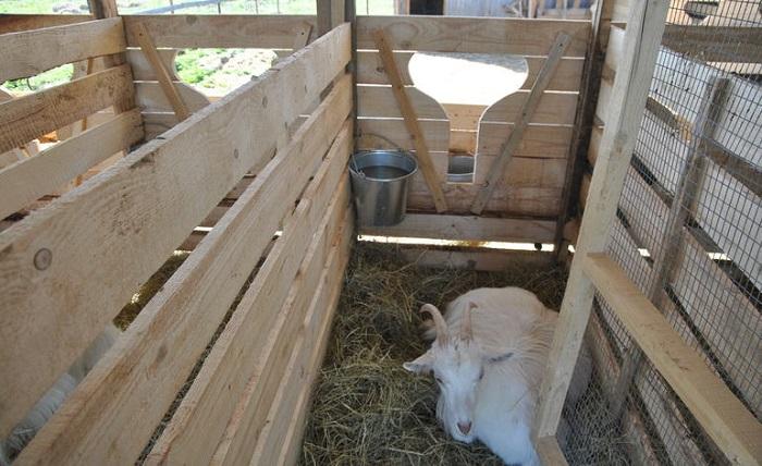 одна коза в стойле
